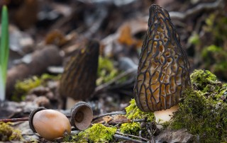 McCall Morel Mushrooms